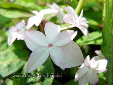 Shinonome (H. serrata)