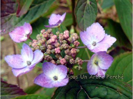 Spreading Beauty (H. serrata)
