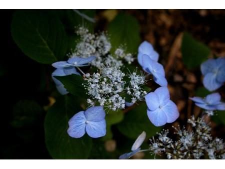 Chisi (H. serrata)