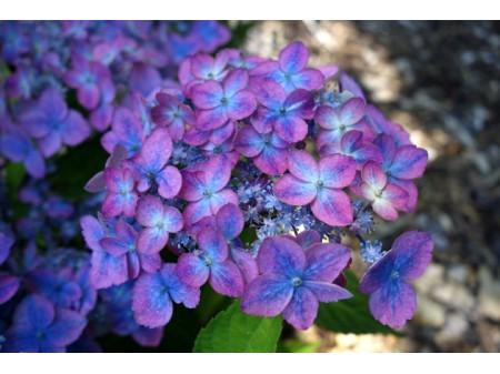 Confetti (H. serrata)