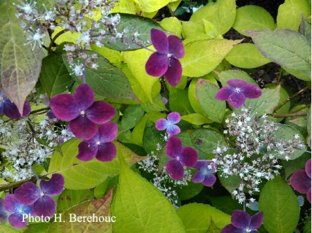 Deep Purple (H. serrata)