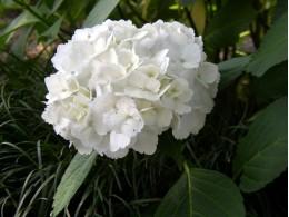 Hana Fubuki (H. serrata)