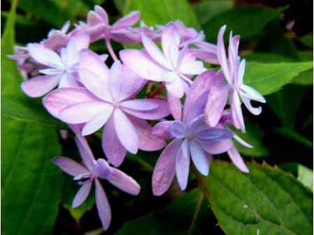 Ishizuchi-no-hikari (H. serrata)