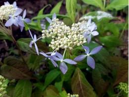 Seiryo (H. serrata)