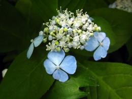 Yosakoi odori (H. serrata)