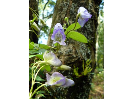 Aconitum austroyunnanense