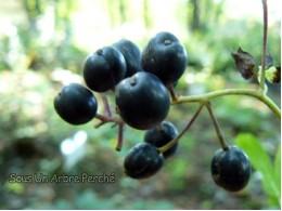 Actaea spicata 'Black Berry'