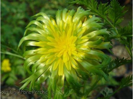 Adonis amurensis 'Flore Pleno'