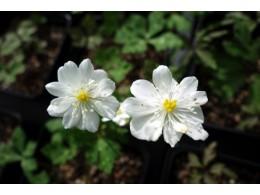 Anemone flaccida 'Ginpai'