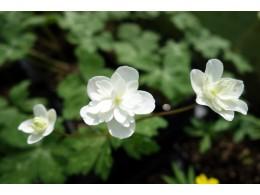 Anemone flaccida 'Senazaki'