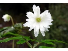 Anemone pseudoaltaica 'Yuki-no-sei'