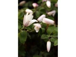 Anemone raddeana f. roseum