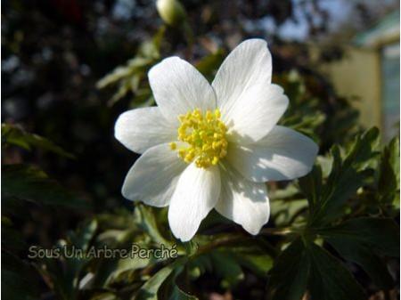 Anemone nemorosa 'Lycette'