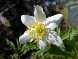 Anemone nemorosa 'Grande Blanche'