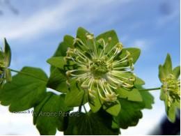 Anemonella thalictroïdes 'Green Hurricane'