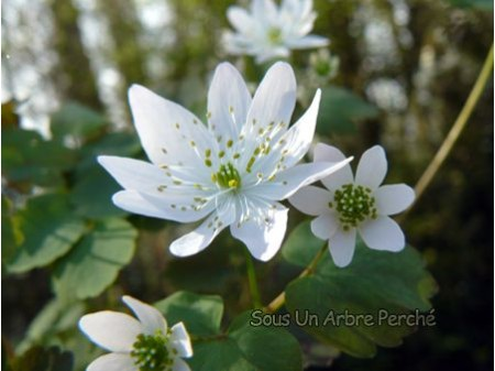 Anemonella thalictroïdes 'Alba'