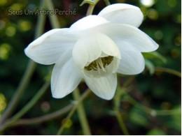 Anemonopsis macrophylla 'Alba'