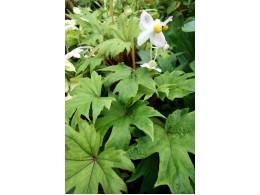 Begonia pedatifida 'Yatsude'