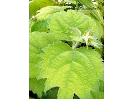 Boehmeria platanifolia