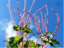 Boehmeria spicata