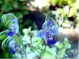 Caryopteris divaricatus SUAP