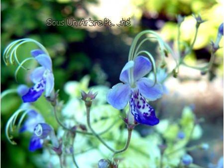 Caryopteris divaricata SUAP
