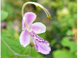 Caryopteris divaricatus rose