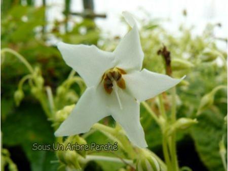Conandron ramondioides 'Shirobana'