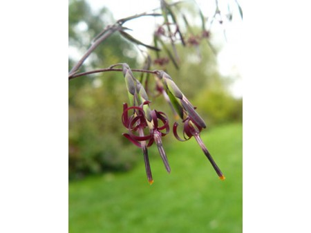 Diaspananthus palmatus