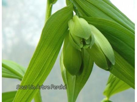 Disporum sessile f. macrophyllum BSWJ4316