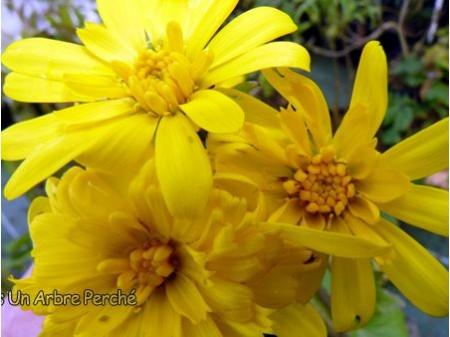 Farfugium japonicum semi-double