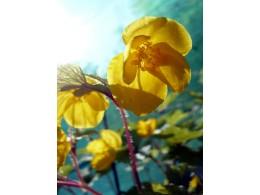 Hylomecon japonica 'Variegata'