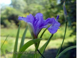 Iris gracilipes