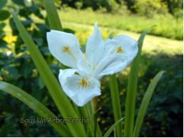 Iris gracilipes 'Alba'