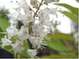 Keiskea japonica
