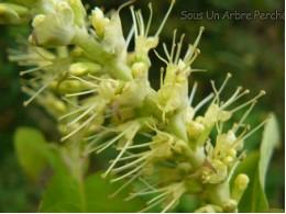 Leucosceptrum japonicum