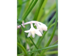 Ophiopogon chingii