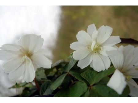 Oxalis griffithii double