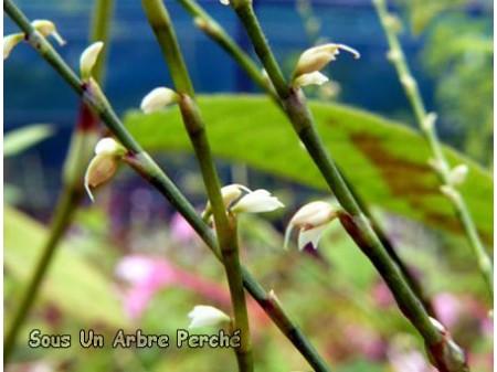 Persicaria filiformis 'Alba'