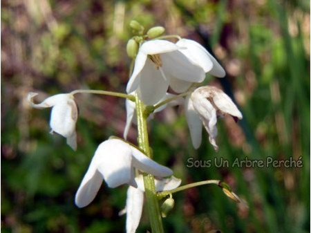 Pteridophyllum racemosum