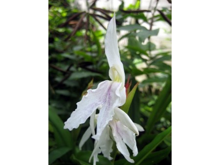 Roscoea x beesiana 'Monique'