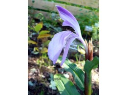 Roscoea purpurea 'Dark Stem'