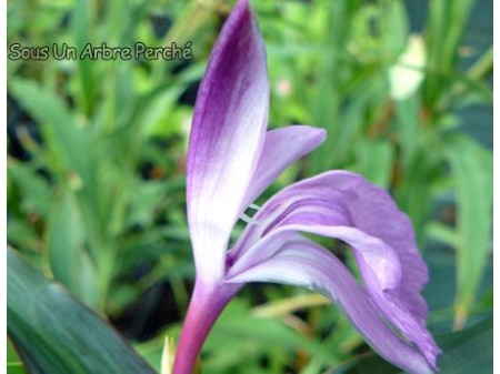 Roscoea purpurea 'Brown Peacok'