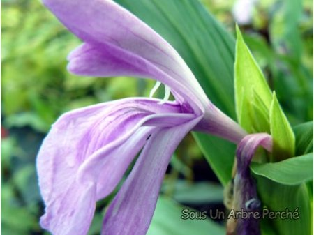 Roscoea purpurea 'Tall Form'