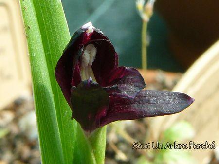 Roscoea scillifolia f. atropurpurea