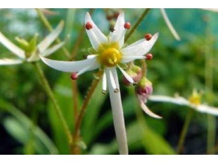 Saxifraga acerifolia