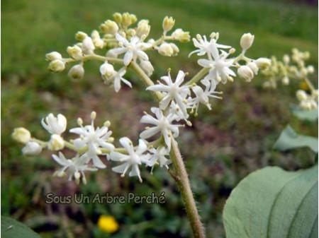 Smilacina japonica f. magna