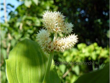 Smilacina racemosa 'Emily Moody'