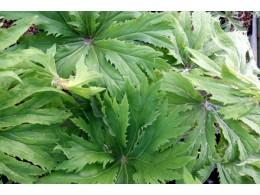 Syneilesis palmata 'Shishi'