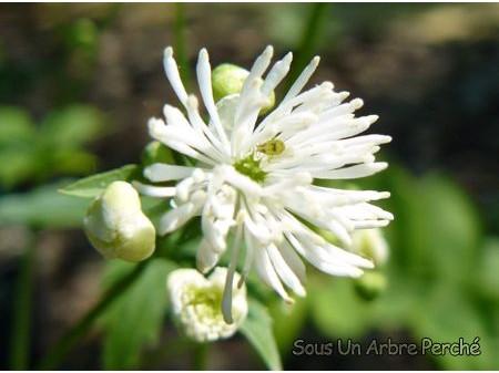 Trautvetteria caroliniensis var. japonica